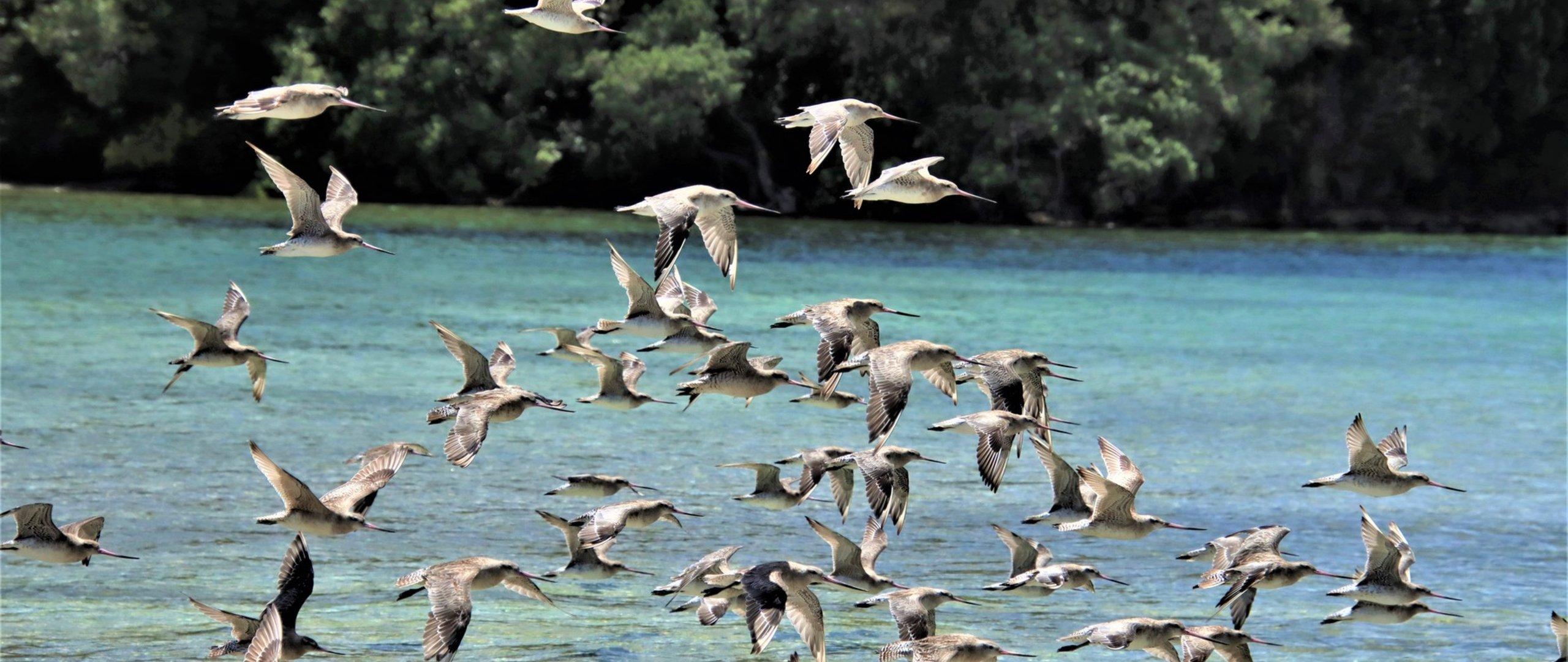 Godwits in Flight Snells Beach