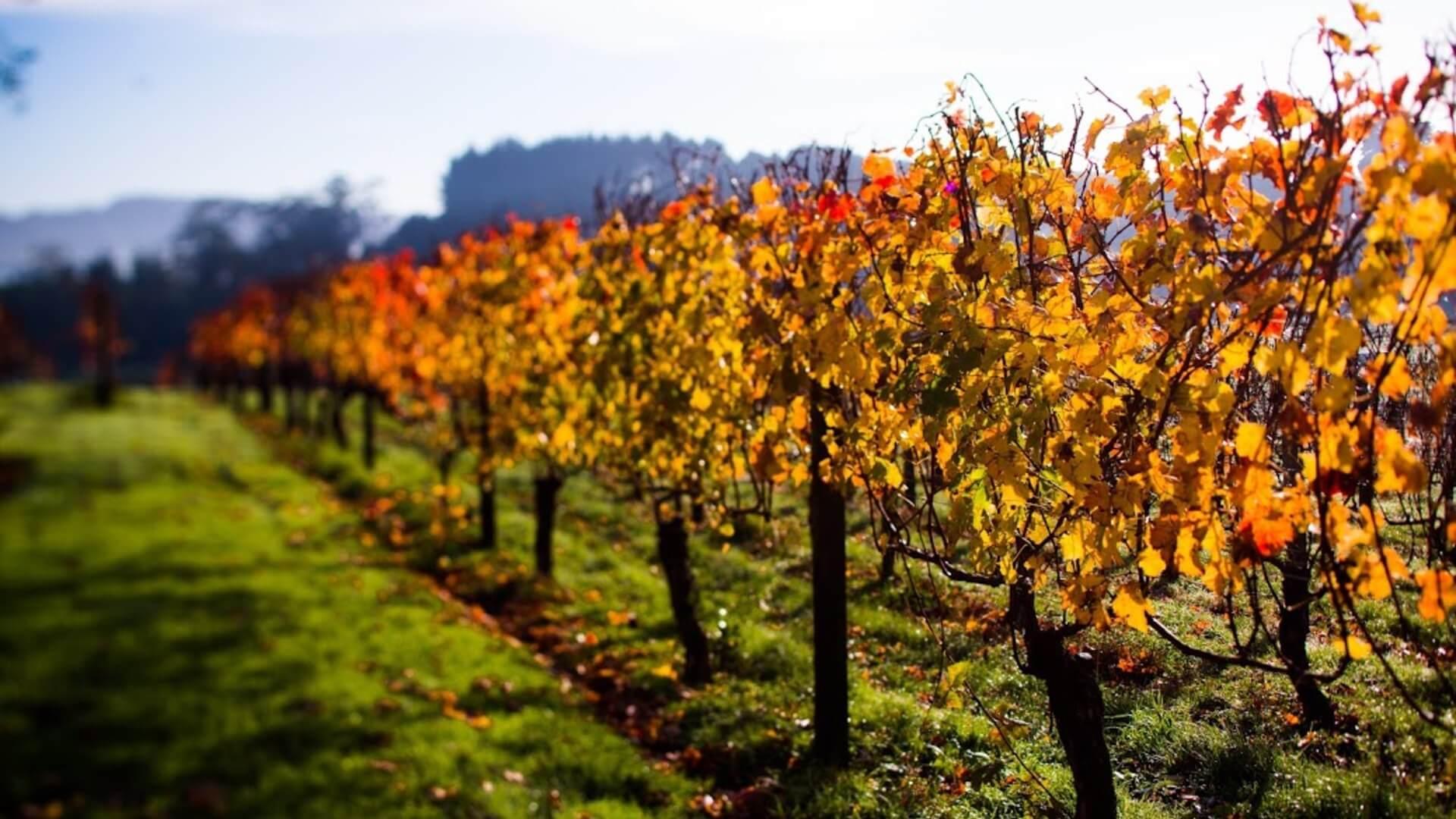 Autumn Vines - Matakana Coast