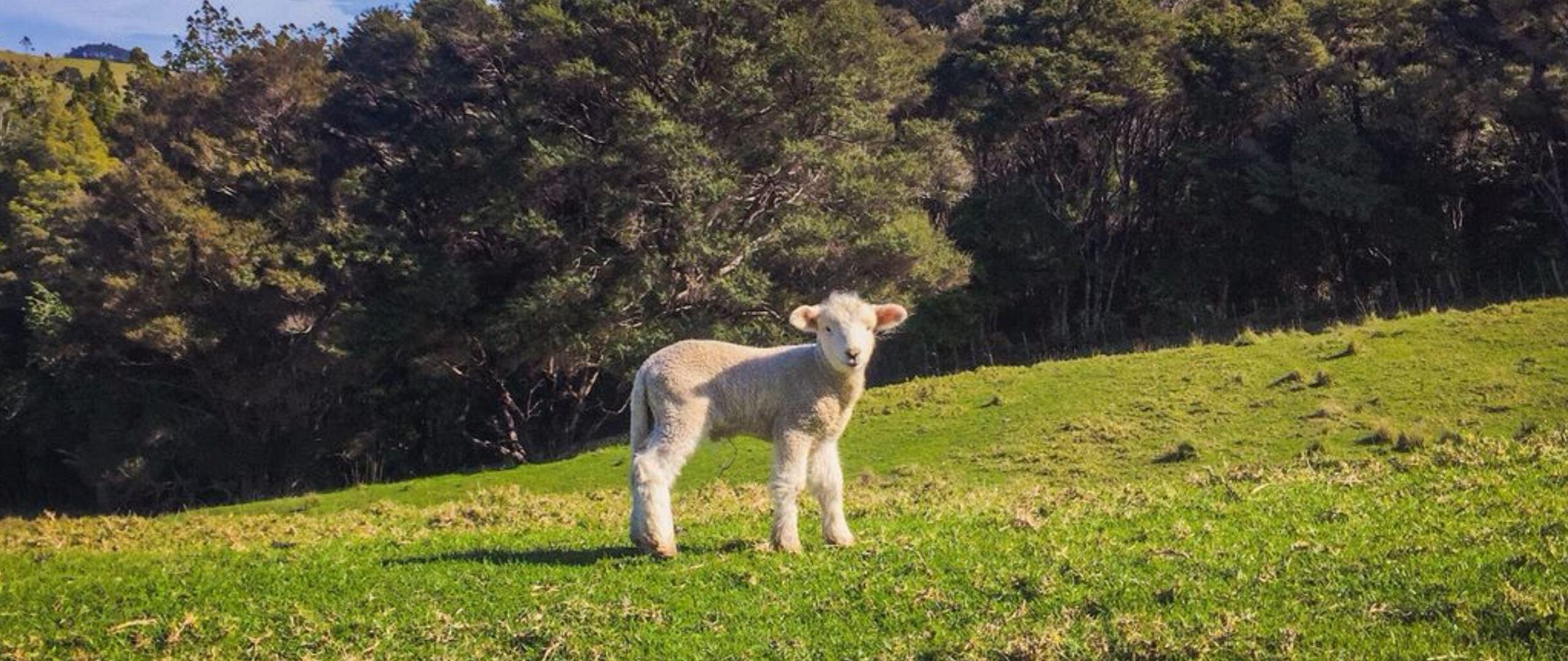 Spring Lamb Matakana Coast