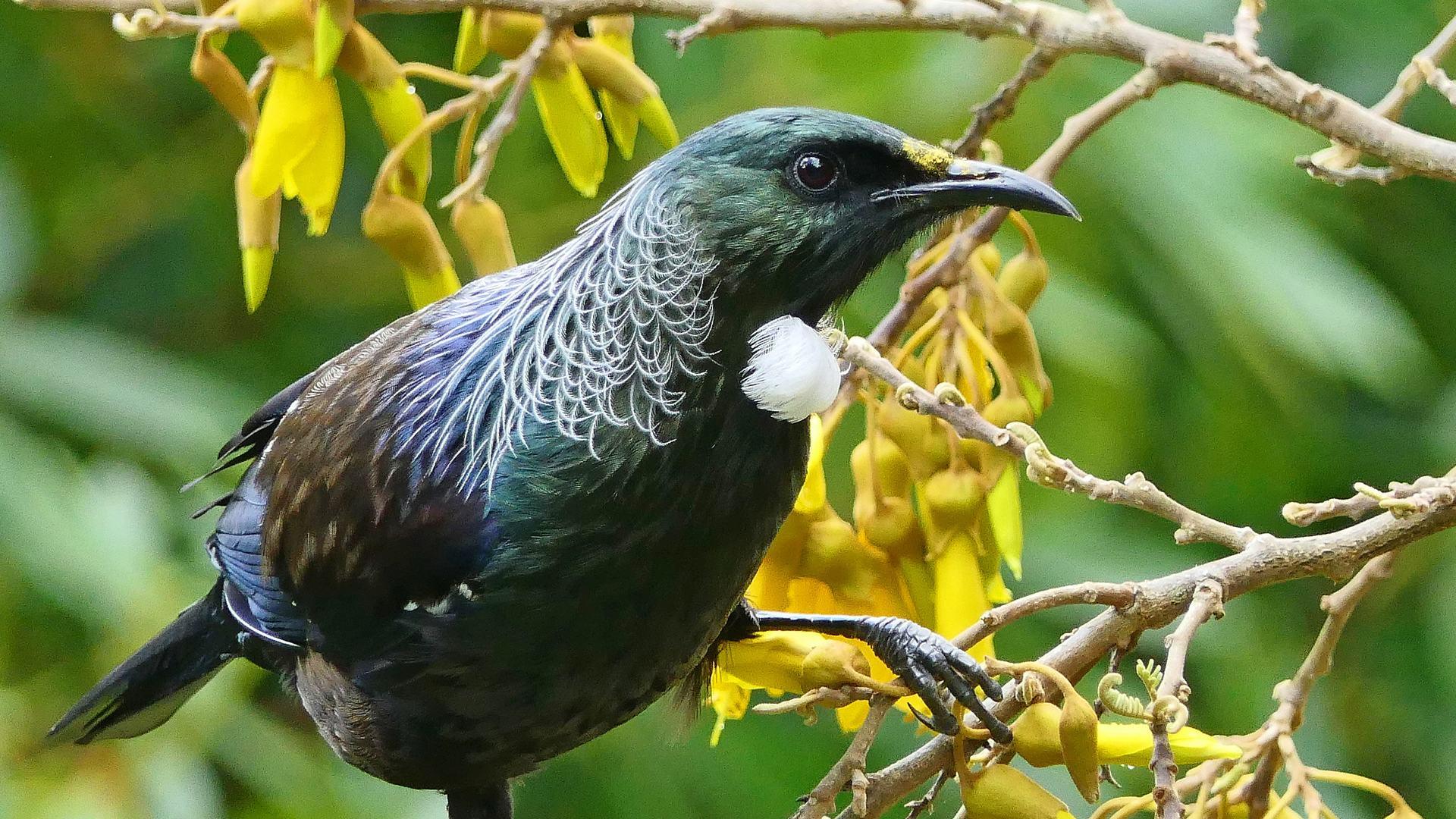 Tui Bird on Kowhai Tree Warkworth